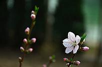 超漂亮的两枝桃花花枝