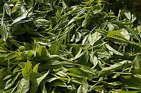 海南白沙茶场的绿茶