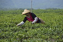 海南白沙茶场在采茶的茶农