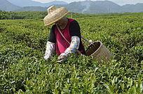 海南白沙茶场在采茶的茶农图
