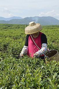 海南白沙茶场在采茶的茶农图片