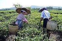 海南白沙绿茶茶场 采茶的茶农