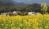 黄花白墙的村落