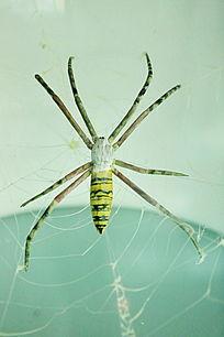 结网蜘蛛标本图片