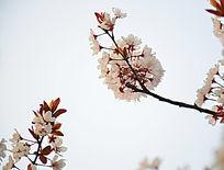 两枝漂亮的海棠花花枝