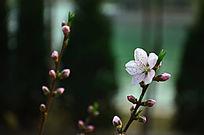 两枝桃花一枝已开放一枝含苞待放