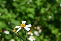 小黄花摄影