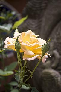 一朵黄色的玫瑰花