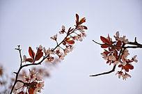 左呼右盼的海棠花花枝唯美照