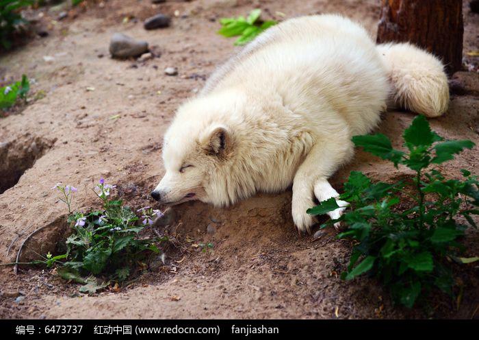 白狐图片,高清大图_陆地动物素材