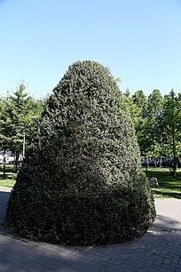 人民大学校园绿化景观塔形松树