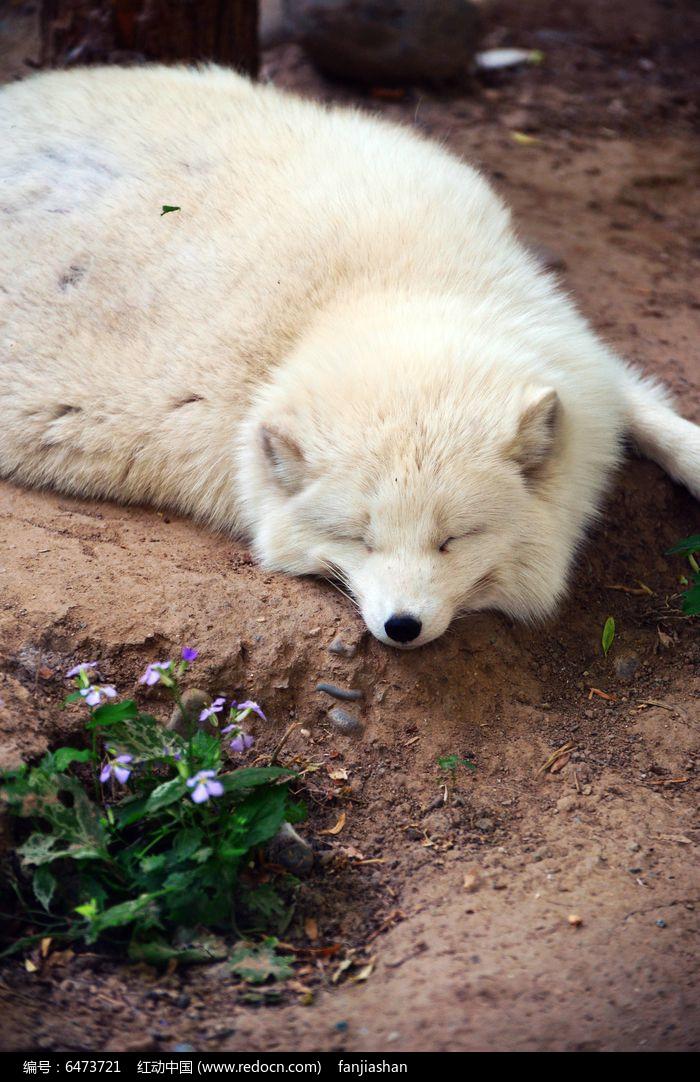 熟睡的蓝狐图片,高清大图_陆地动物素材