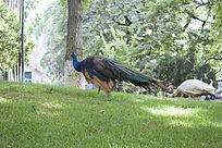 草地觅食的蓝色孔雀