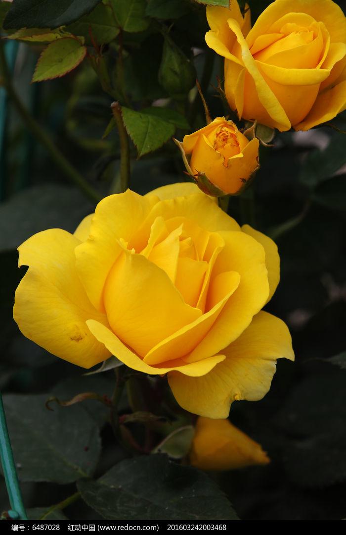 黄色�9��y.��.�_黄色月季