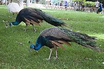 两只低头的蓝色孔雀