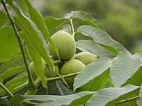绿色的核桃果