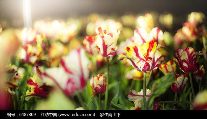 阳光下的郁金香图片