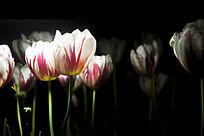 夜色下美丽的郁金香