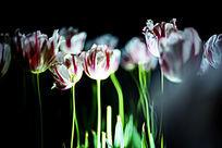夜色下一片粉色郁金香