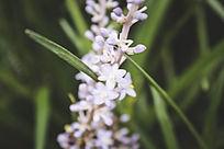 吊兰开出的淡紫色花朵