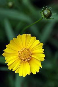 黄色金盏菊