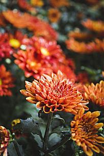 橙色雏菊花海