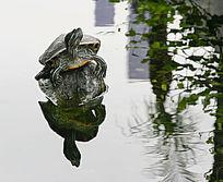 池塘倒影乌龟
