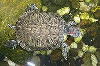 池中老乌龟