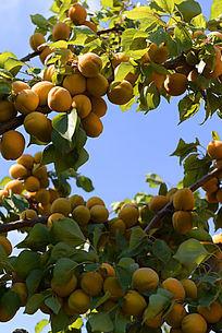 果实累累的杏树