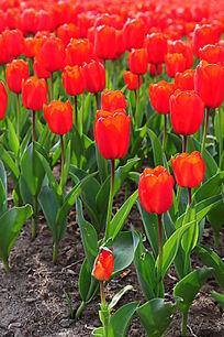 红色郁金香花海