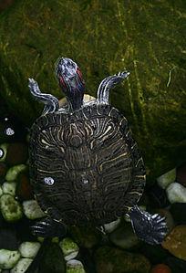 花园水池老乌龟