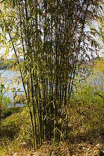 鸡公山团竹