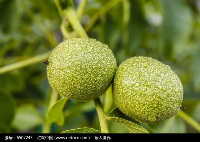 原创摄影图 动物植物 农作物 两个核桃果实