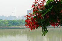 美丽的红色的凤凰花