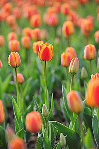 浅景深橙色郁金香花海竖构图