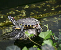 石头上悠闲乌龟