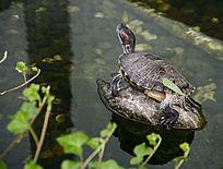 水池石头乌龟