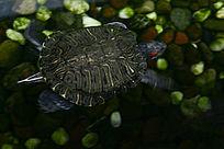 水池中潜水老乌龟
