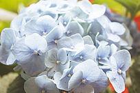 阳光先的淡蓝色绣球花