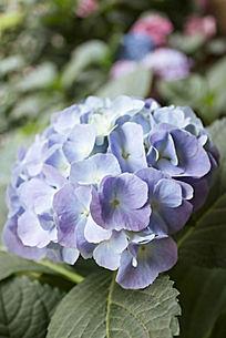 一株淡蓝色的绣球花