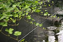 雨天水塘中的绿叶