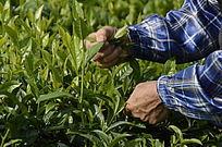 白沙绿茶茶场的采茶茶农特写图片