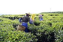 采茶茶农图片