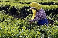 茶场的采茶茶农特写图片