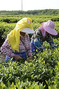 茶场的采茶茶农图片