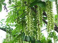 淡绿色的枫杨花序