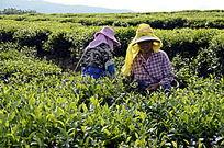 海南白沙茶场的采茶茶农
