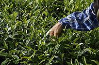海南白沙茶场的采茶茶农特写图片