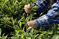 海南白沙绿茶茶场的采茶茶农