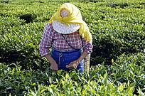 海南白沙绿茶茶场的采茶茶农特写